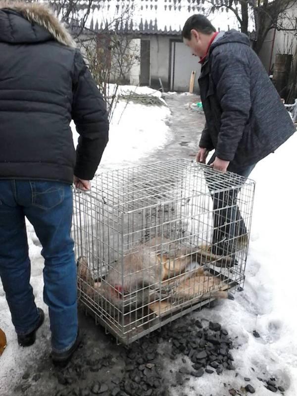 У Мукачеві врятували косулю, яка з невідомих причин навідалась y місто