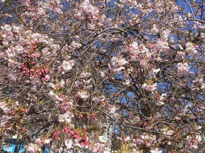 На Закарпатті вже розцвіла перша сакура (ФОТО)