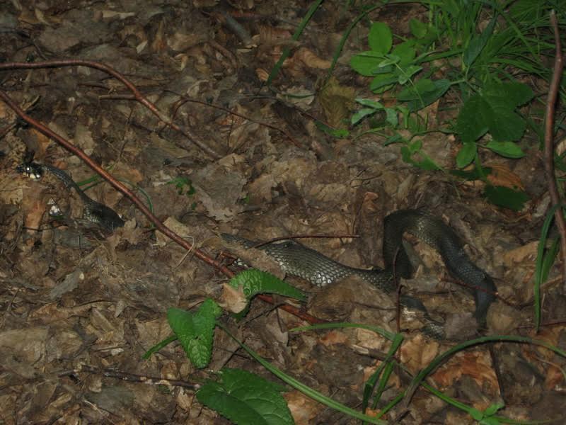 На Перечинщині грибники стали свідками, як змія обідала жабою
