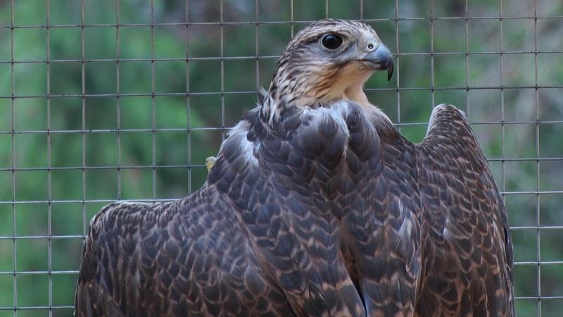 У Колочаві створили реабілітаційний центр хижих птахів.