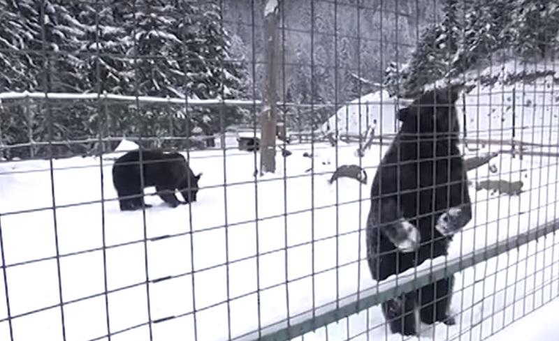 Medvedi Sunevur Zakarpatta