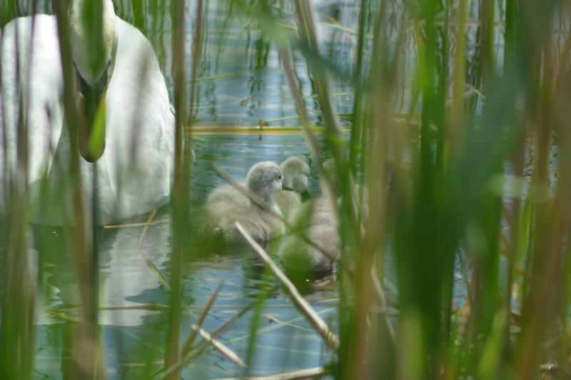 На озері Кірпічка в Ужгороді лебеді обзавелися пухнастим потомством. ФОТО
