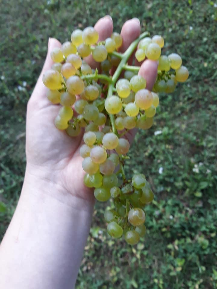 На Закарпатті вже дозрів виноград