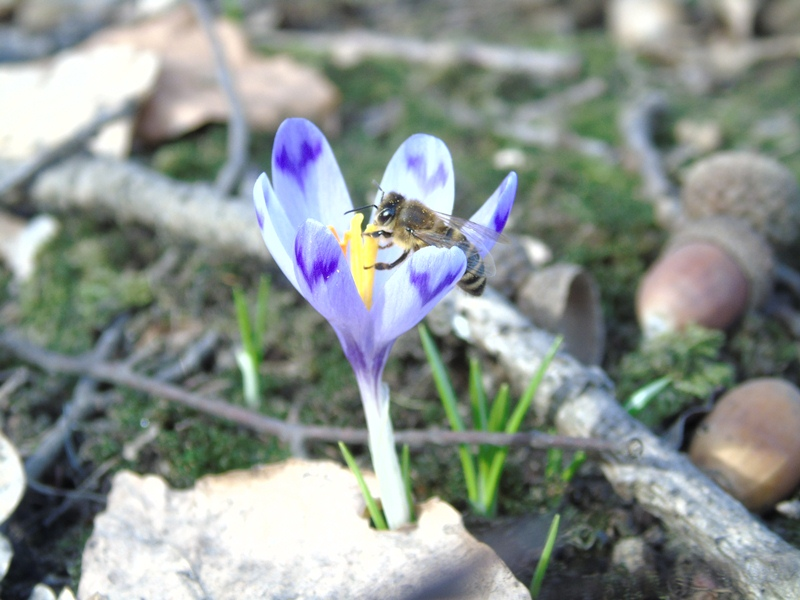 Не сакурами єдиними: в Мукачівському районі почалось цвітіння крокусів. ФОТО
