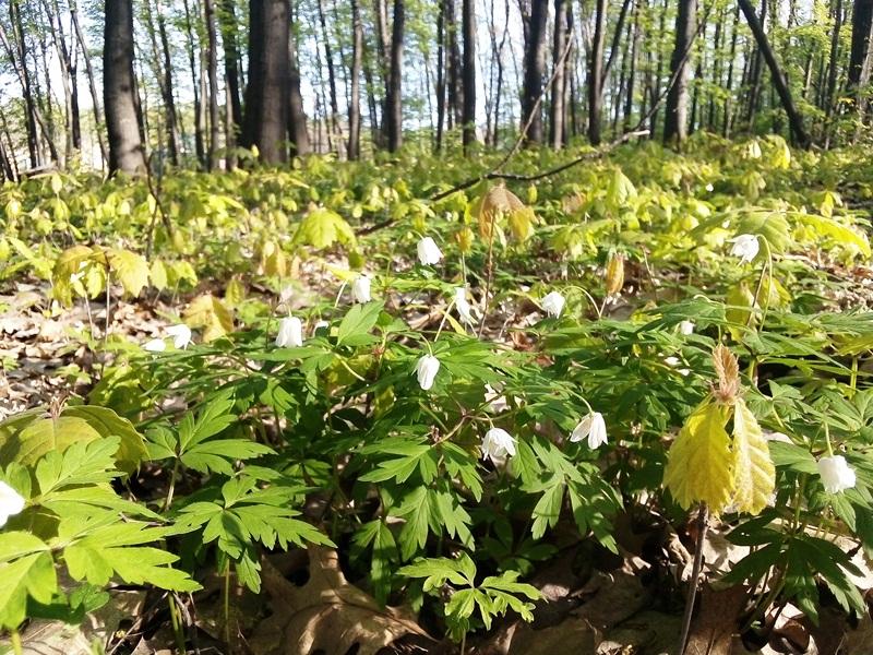 Диво природи поблизу Ужгорода: «зелене море» молодих дубів. Фото