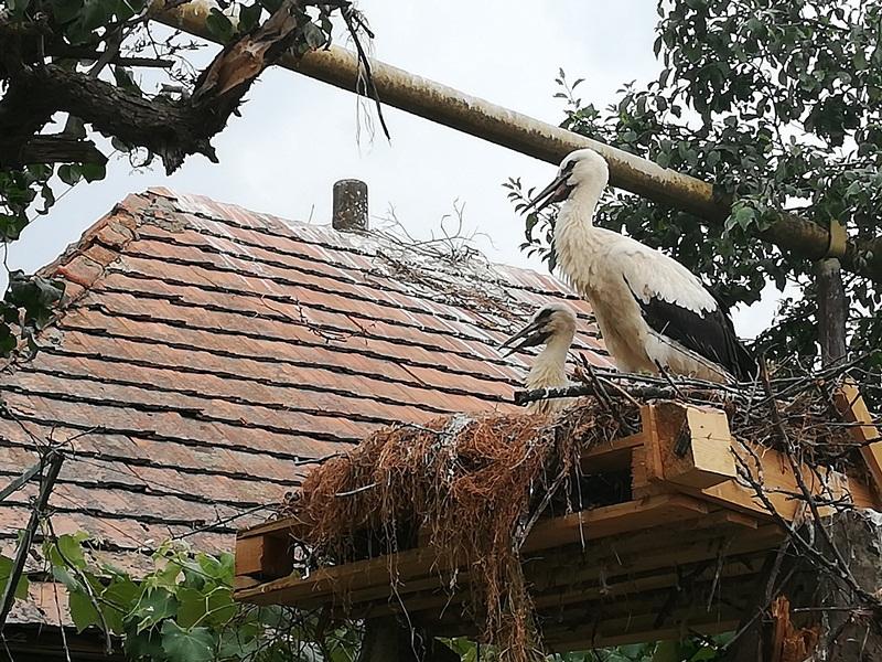 В іршавському селі Дунковиця люди врятували лелечу родину, яка залишилась без гнізда