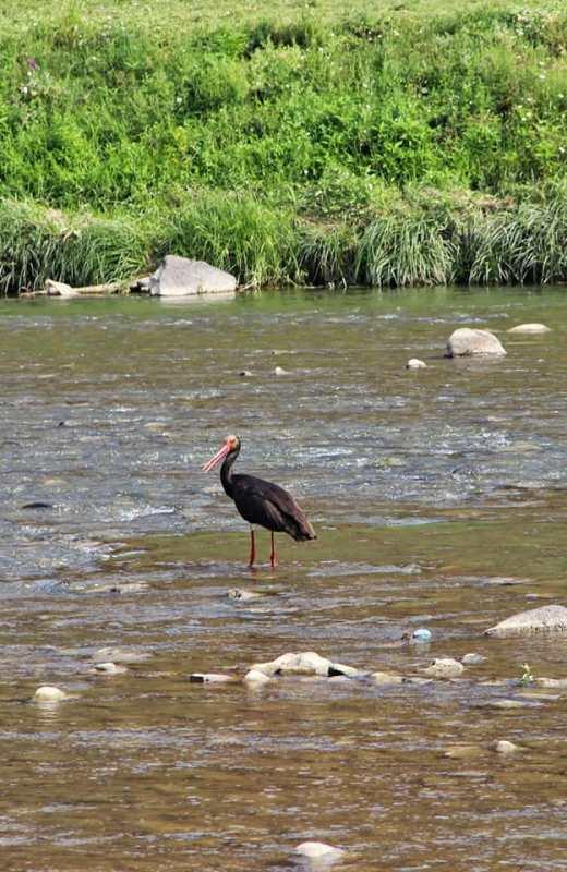 В Ужгород завітав червонокнижний птах. ФОТО