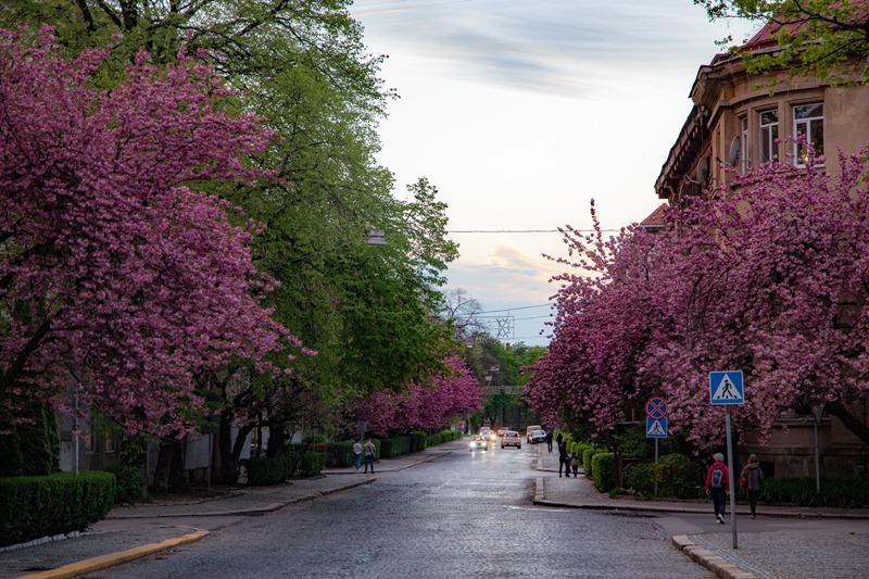 Ужгород і на ці вихідні ще тішить рожевим цвітом сакур. Фото